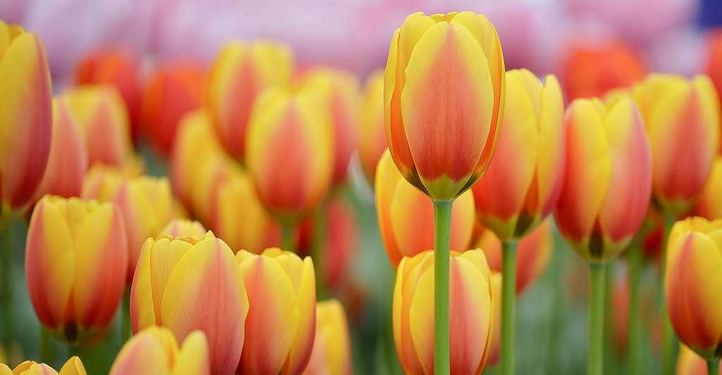 Champs de tulipes au Keukenhof, aux Pays-Bas. © Apolinne Boucq, CC by-nc 2.0