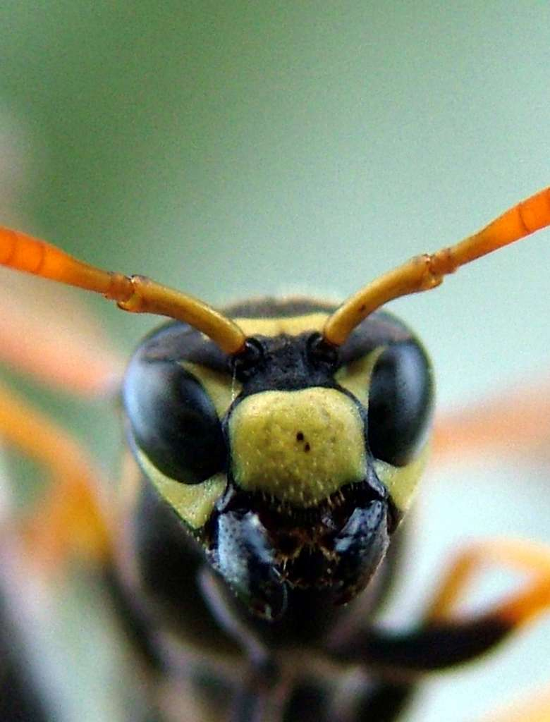 Gros plan sur une guêpe à papier de l'espèce Polistes dominula, l'une des espèces étudiées par les chercheurs de l'université du Michigan. © Elizabeth Tibbetts, Université du Michigan