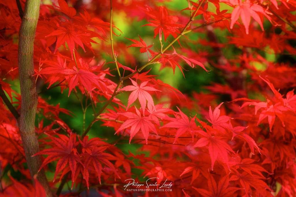 L'automne en rouge carmin