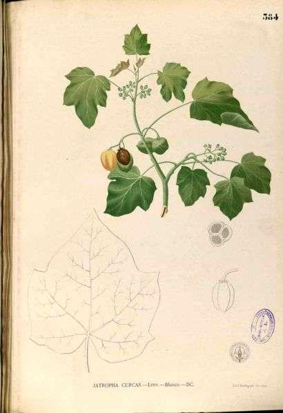 Jatropha curcas, dessiné par le botaniste espagnol Francisco Manuel Blanco. Un candidat pour les agrocarburants du futur. © Licence Commons