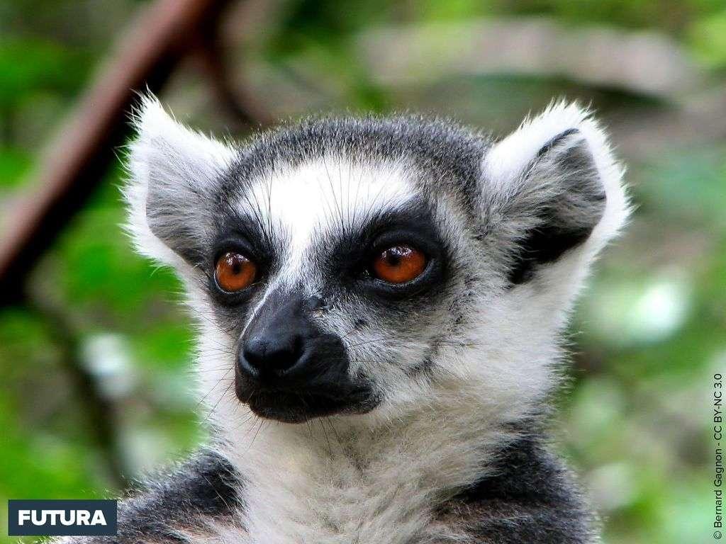 Lémur catta - Madagascar