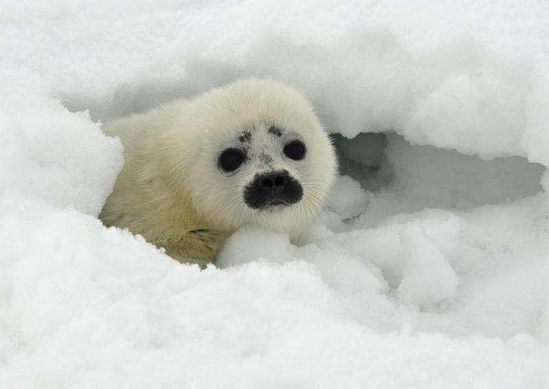 Les bébés phoques annelés vivent dans de petites grottes dans le cercle Arctique. Un phoque annelé peut vivre jusqu'à 25 ans, mais le changement climatique qui modifie l'étendue de la couverture de glace menace fortement ces populations animales. © Michael Cameron, NOAA, Alaska Fisheries Science Center