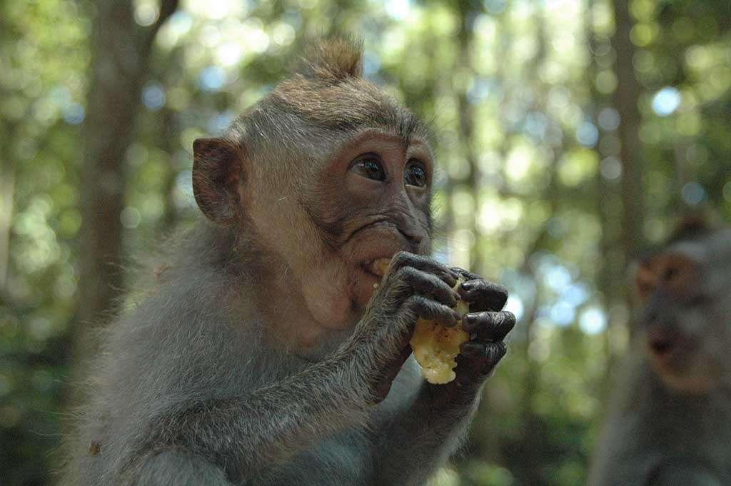 Dîner de macaque. © Shawn Allen, CC by 2.0