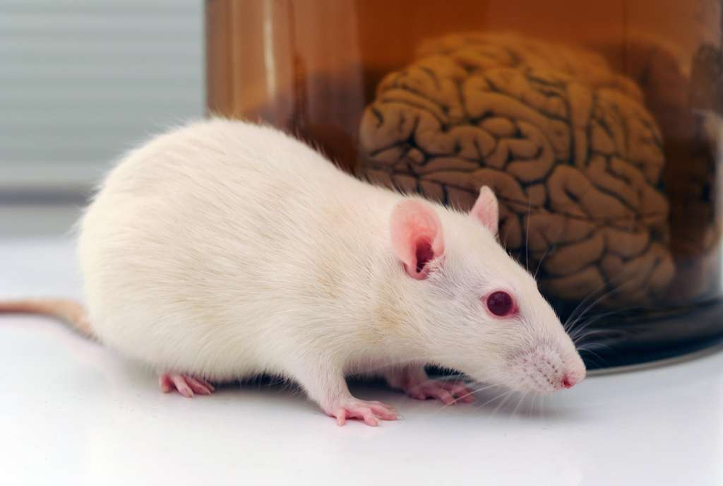 Les souris jeunes apprennent très vite à retirer le maximum de bénéfices en dépensant le moins d'énergie possible. © polsen, Adobe Stock