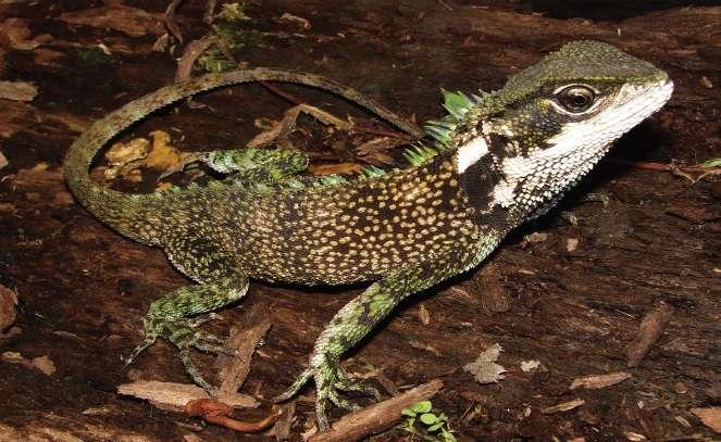 Enyalioides sophiarothschildae a été localisée dans le bassin supérieur de la rivière Huallaga, à 1.500 mètres d'altitude, dans le nord du Pérou. © Omar Torres-Carvajal et al., ZooKeys