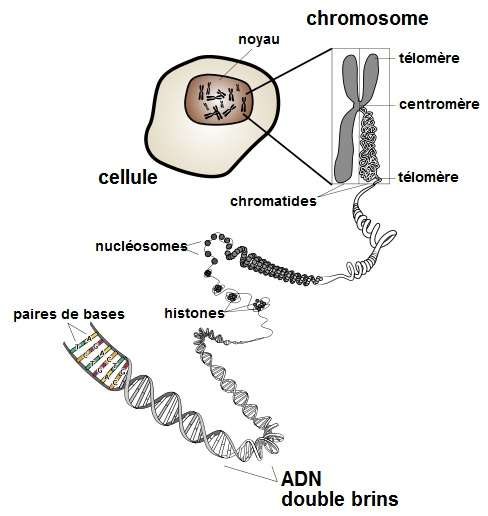 L'ADN est situé dans les noyaux de chaque cellule, et est composé d'un enchaînement de nucléotides. © Domaine public