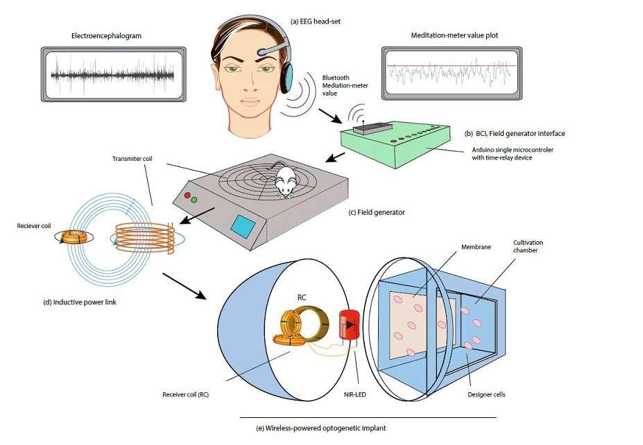 Schéma du dispositif mis au point par les chercheurs. Dans l'implant situé en bas du schéma, une LED (en rouge) s'allume dans le proche infrarouge, ce qui influence la production de protéines par les cellules de la chambre de culture (à droite). © Folcher M et al., Nature Communications 2014