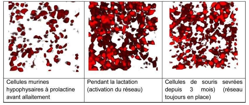 Ces illustrations montrent l'effet de l'allaitement sur les cellules hypophysaires excrétrices de prolactine. Le réseau se forme à l'allaitement et se maintient après le sevrage de la portée. © David Hodson, Nature comunications