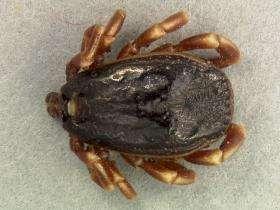 Tique Hyalomma marginatum, une nouvelle espèce de tique repérée en Camargue. © INRAE