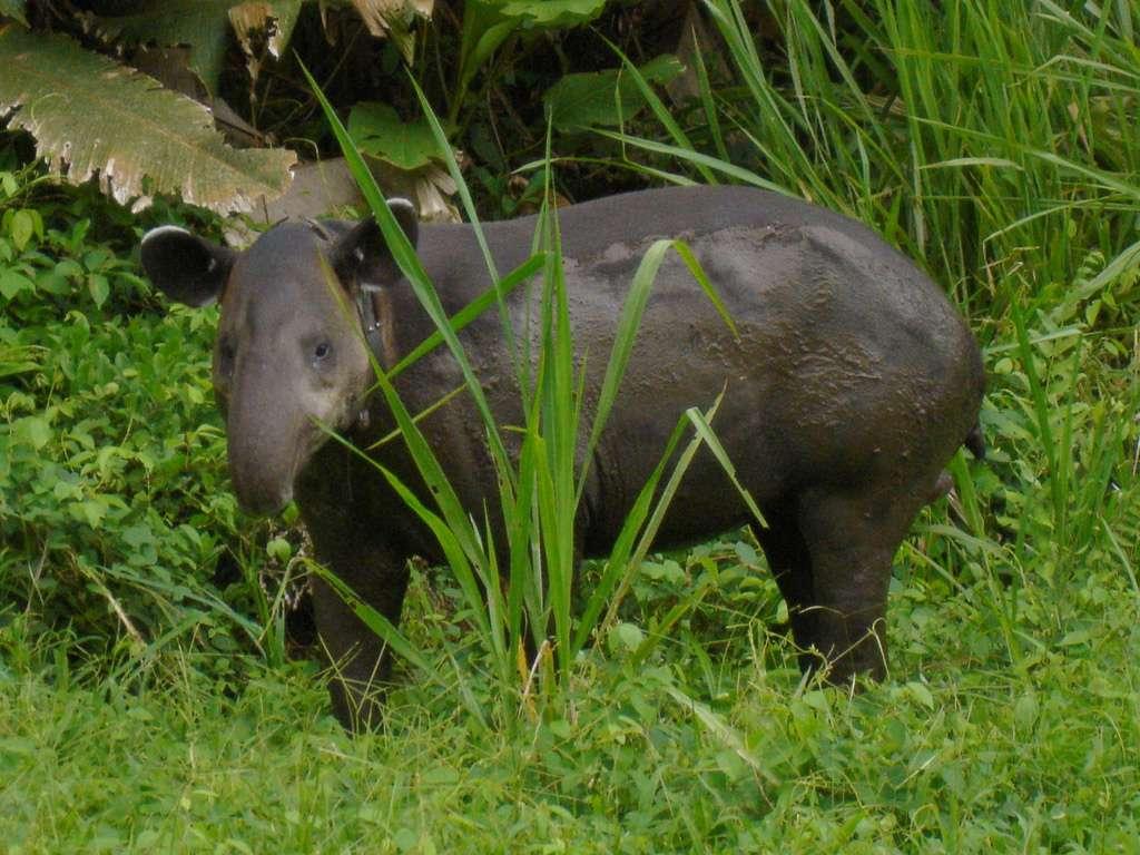 Tapir de Baird dans le parc de Corcovado, au Costa Rica. © MiguelVieira, Flickr, cc by 2.0
