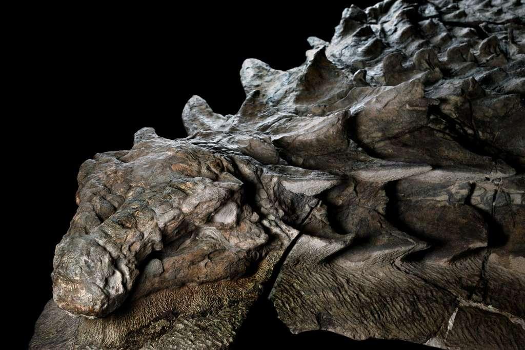 La tête et le cou de ce nodosaure, couverts d'écailles en pointes, semblent ceux d'un reptile mort récemment. L'animal est pourtant mort il y a plus 110 millions d'années. © National Geographic, Royal Tyrrell Museum