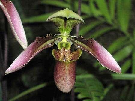Paphiopedilum appletonianum. © Éric Hunt