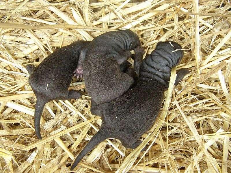 Bébés visons d'Amérique. © felixd, GNU FDL Version 1.2