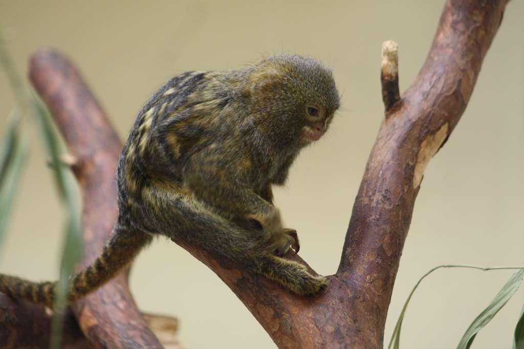 Ouistiti pygmée. © Patrick Straub