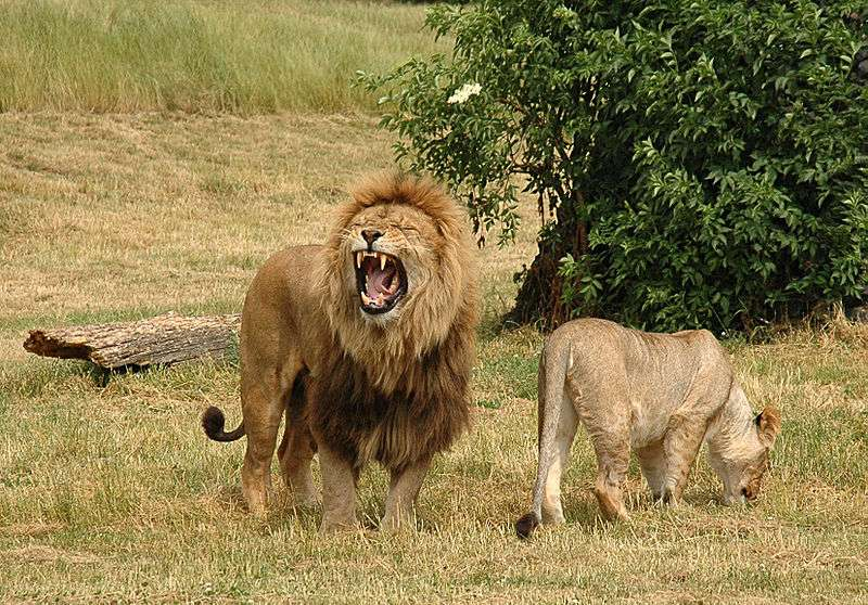 Couple de lions. © Robek, Creative Commons Attribution 2.5 Generic license