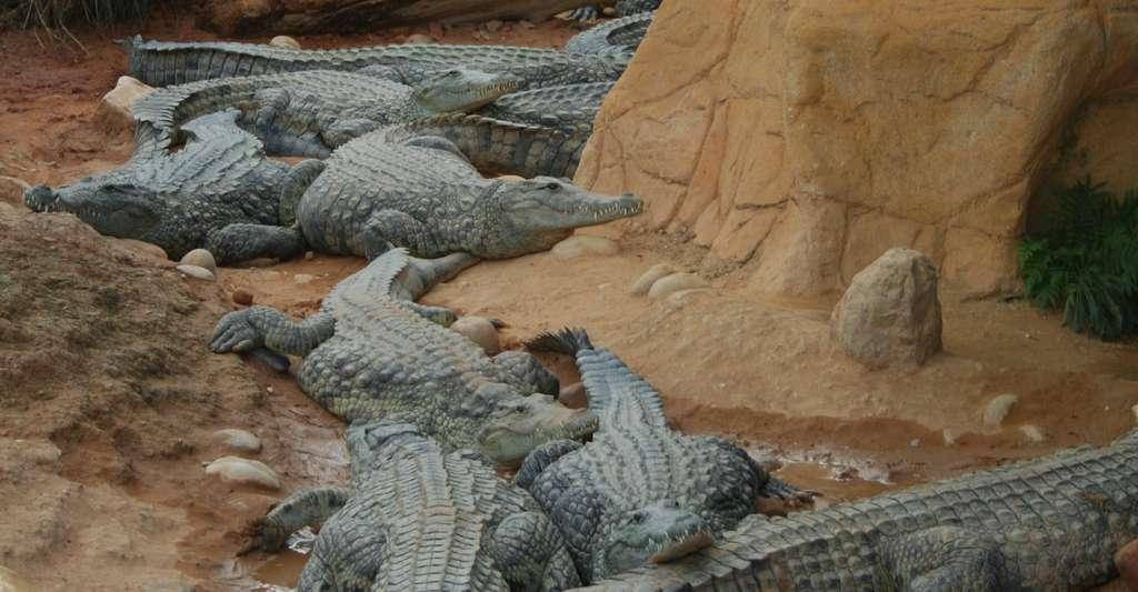 Les cinq crocodiles du Nil qui ont participé à l'étude sont, comme ceux-ci, issus de la Ferme aux crocodiles à Pierrelatte (France). © davric, Wikipedia, Domaine public
