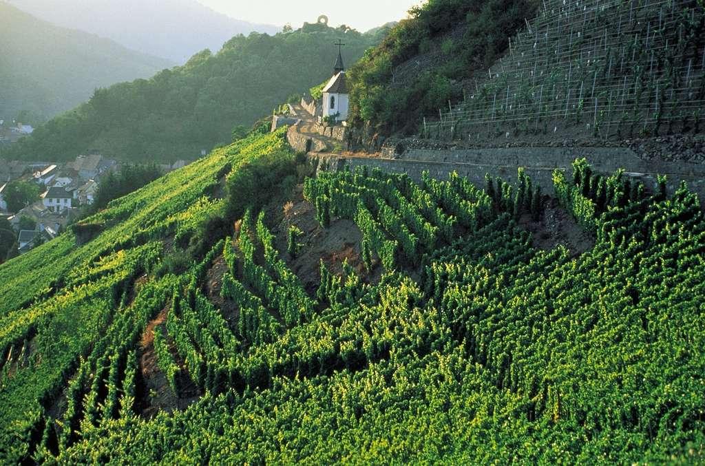 Le vignoble du Rangen à Thann (Alsace). © CIVA