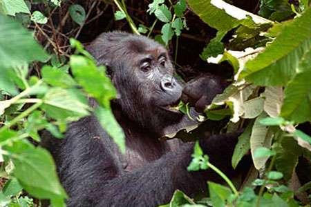 Gorille mangeant des feuilles. © DR