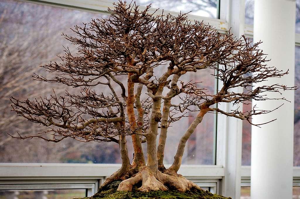 Photo de bonsaï prise au Brooklyn Botanic Garden. © Erica Joy, CC by-nc 2.0