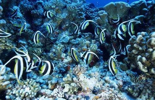 Atoll de Fakarava. Réserve de la biosphère. Banc de poissons-cochers (Heniochus acuminatus) au-dessus du récif corallien. © Photographe Alexis Rosenfeld Tous droits réservés