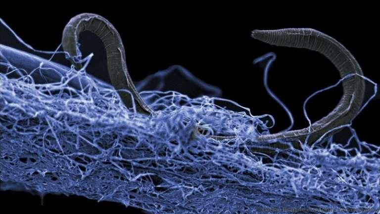 Une nématode, un micro-organisme découvert dans une mine d'or d'Afrique du Sud et qui vit à 1,4 kilomètre sous la surface. © Gaetan Borgonie, DCO