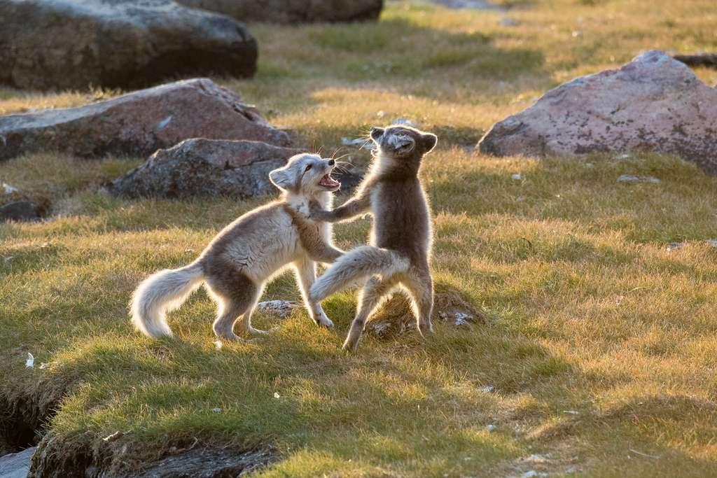 Quand deux bébés renards polaires s'amusent