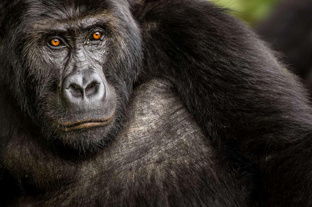 Le gorille ne faisait pas partie du Big Five originel. « Mais les gorilles sont des animaux tellement incroyables, intelligents et affectueux, remarque Tara Stoinski, P.-D.G. du Dian Fossey Gorilla Found. Si certaines populations sont en danger, d'autres revivent. Elles sont la preuve que les actions de conservation peuvent porter leurs fruits ». © Marcus Westberg, New Big 5