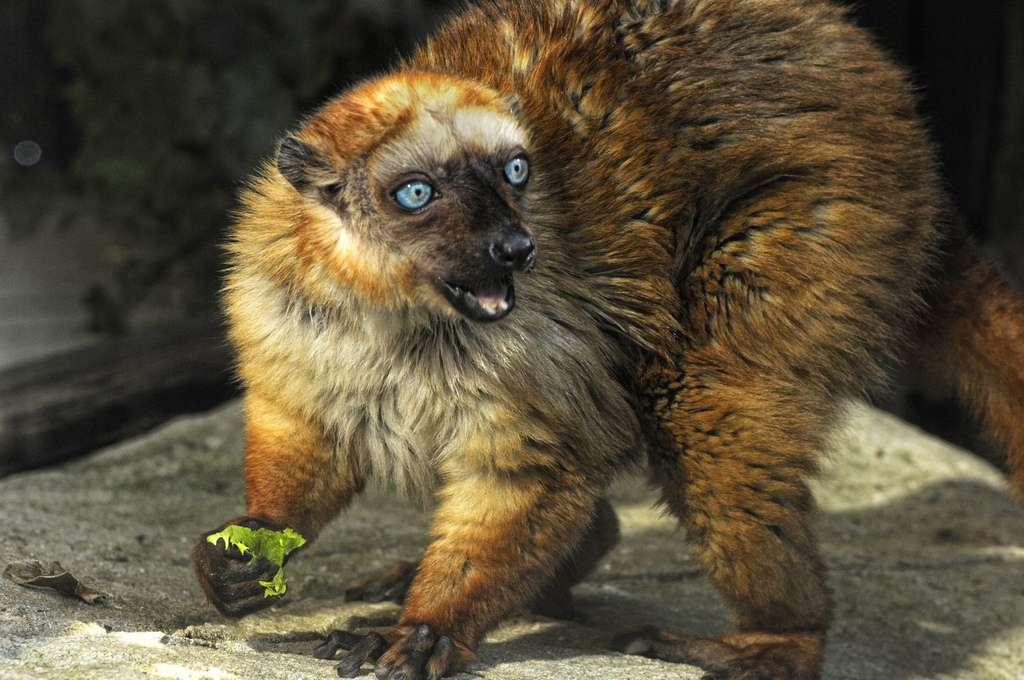 Le lémur aux yeux turquoise ne se rencontre pas tous les jours, car il vit dans les forêts malgaches. Pourtant, les petits d'Hommes se montrent sensibles à ses cris, qui peuvent avoir autant d'influence sur leur cerveau qu'une voix humaine. © Donald Ogg, Flickr, cc by nc nd 2.0