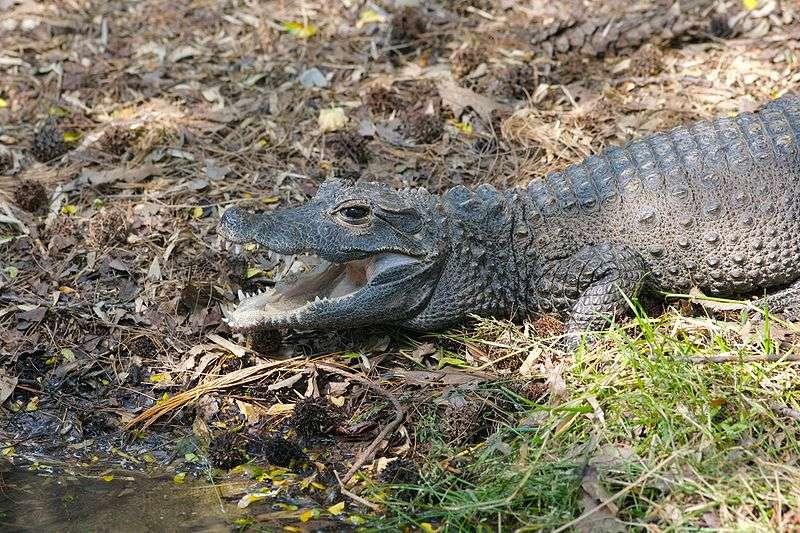 Crocodile nain (Osteolaemus tetraspis). © Ryan E. Poplin, CC by SA 2.0
