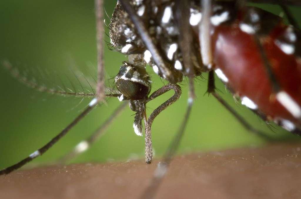 Le moustique-tigre Aedes albopictus constitue l'un des principaux moustiques vecteurs de la dengue. Surtout ne pas les laisser s'approcher au Brésil. © James Gathany, CDC, DP