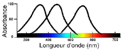 Spectre absorption rhabdomes des régions photosensensibles des ommatidies chez les insectes. © Reproduction et utilisation interdites