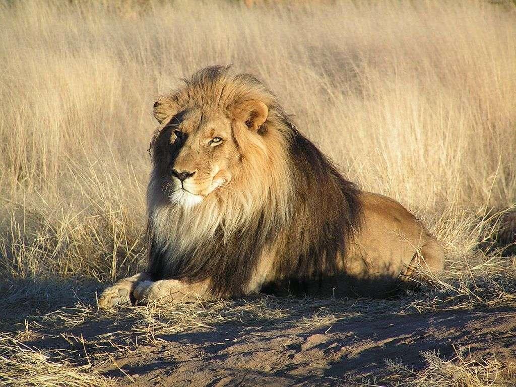 Le lion d'Afrique est fortement menacé par l'intrusion de l'Homme dans la savane. La surface de l'habitat naturel des lions a diminué de 75 % depuis les années 1960. La photo a été prise en Namibie. © yaaaay, Wikipédia, cc by 2.0