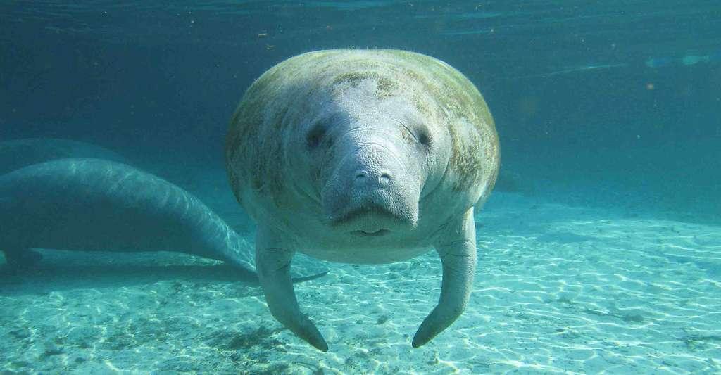Jeune dugong. © U.S. Geological Survey, Wikimedia commons, CC by 2.0