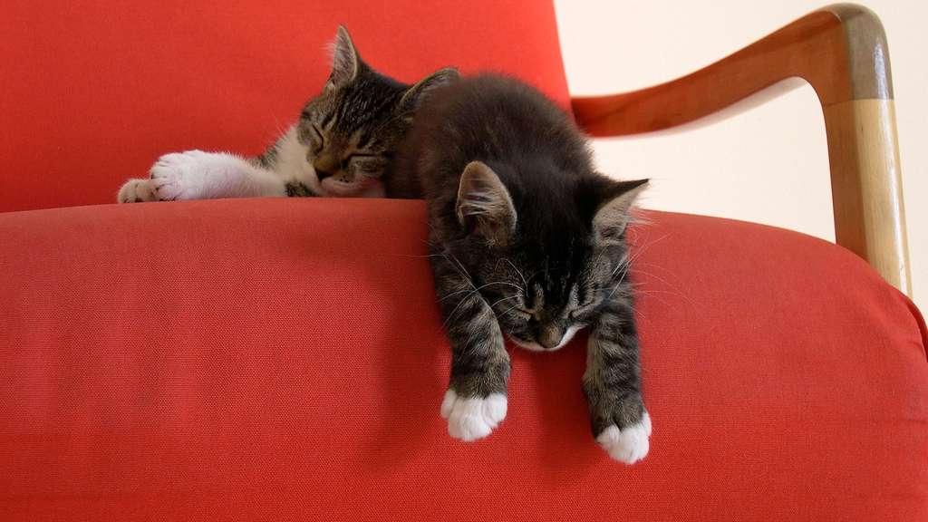 La sieste des chatons
