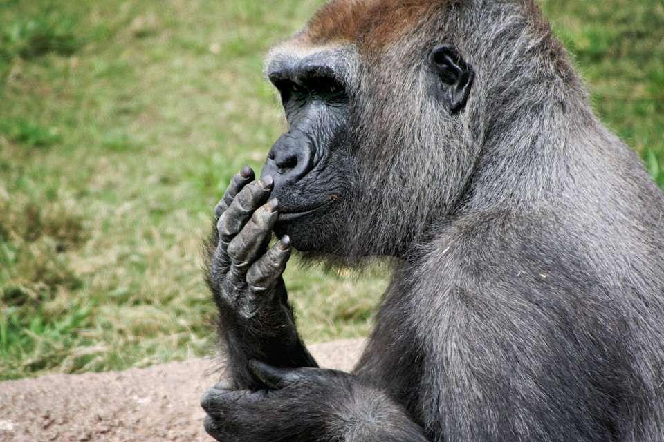Pourquoi les gorilles en captivité vivent-ils plus longtemps que les sauvages ? Ce n'est en tout cas pas du à leur dépense énergétique qui est la même dans les deux cas. © russiansilver, Flickr, cc by nc nd 2.0