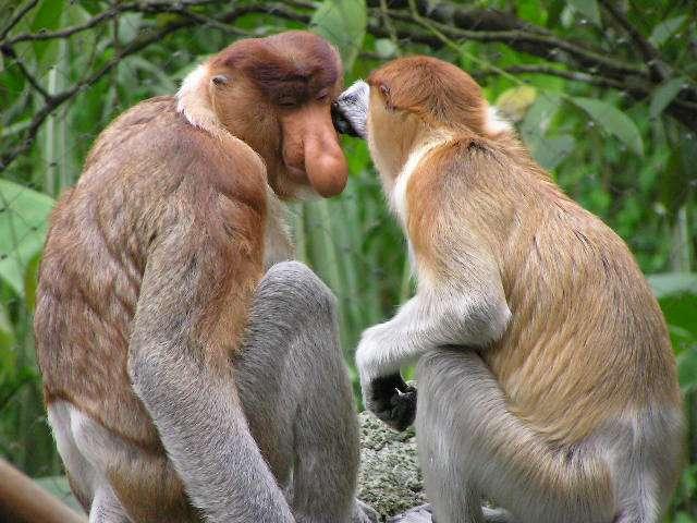 Couple de nasiques. © Frank Wouters,CC by 2.0