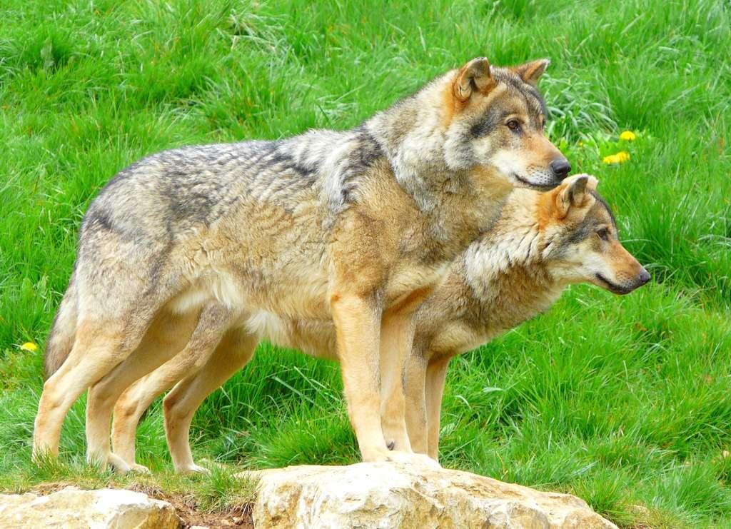 Loups européens au Zoodyssée de Chizé. © Patrick Straub
