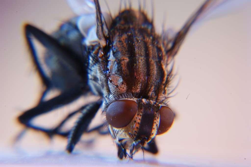 Les particularités de l'œil de mouche intéressent beaucoup les roboticiens. © 1suisse, Flickr, DR