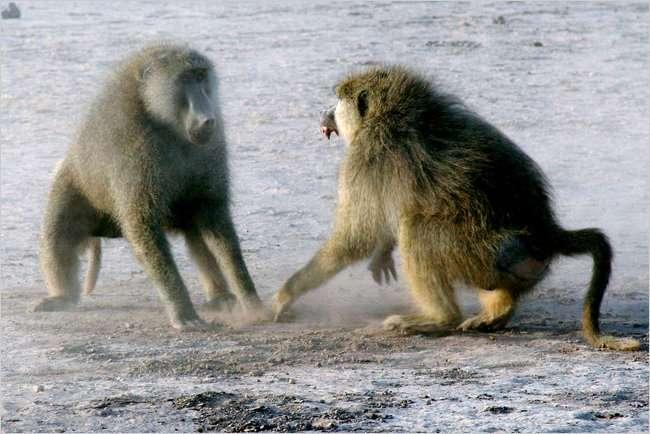 Deux babouins jaunes mâles se provoquent, pour savoir qui est le plus fort. Si le pouvoir est stressant, il semble aussi que ceux qui le possèdent guérissent mieux de leurs maladies. © Jeanne Altmann