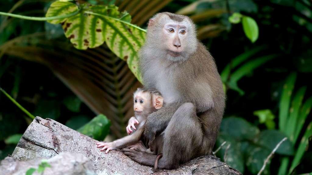 Le macaque à queue de cochon du Nord