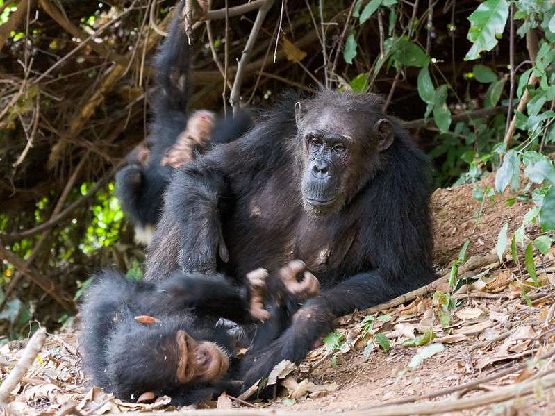 Femelle et son petit. © Ikiwaner, GNU FDL Version 1.2