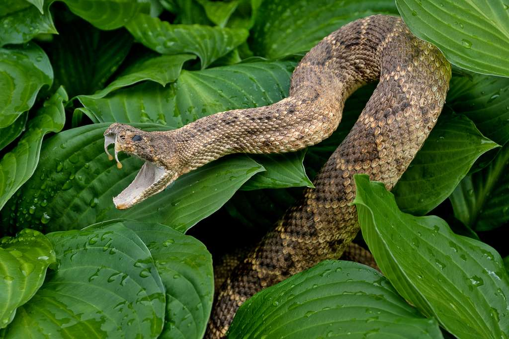 En cas de morsure de serpent, appelez immédiatement les secours. © driftwood, Fotolia