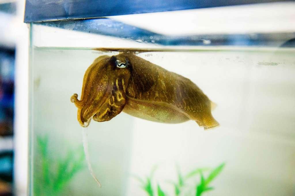 Une des seiches communes utilisées pour les expériences dans un aquarium. © Dr Alexandra Schnell
