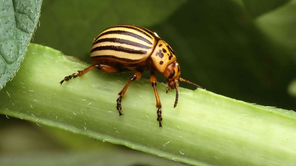 Leptinotarsa decemlineata - Doryphore