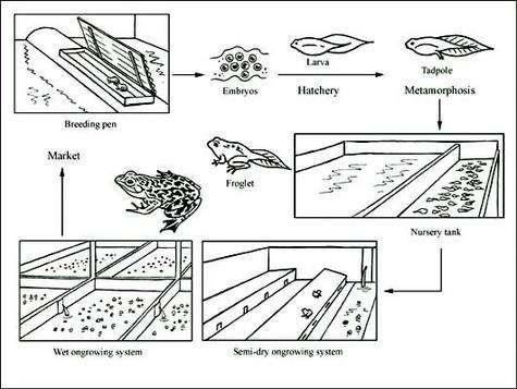 Schéma de culture de grenouille taureau. © FAO