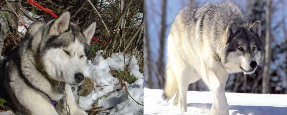 Qui est qui ? À gauche, le husky, un chien originaire de Sibérie, qui peut peser jusqu'à 28 kg. Souvent caractérisé par ses beaux yeux bleus, il peut néanmoins les avoir marron, noirs, ambre ou vairons. À droite, le loup gris, ou Canus Lupus. Il diffère du husky par sa tête plus large, sa poitrine plus étroite et ses pattes plus longues, avec de larges pieds, ainsi qu'une queue droite. © Shambarimem, DP (photo de gauche) ; Chris Muiden, GNU (photo de droite)