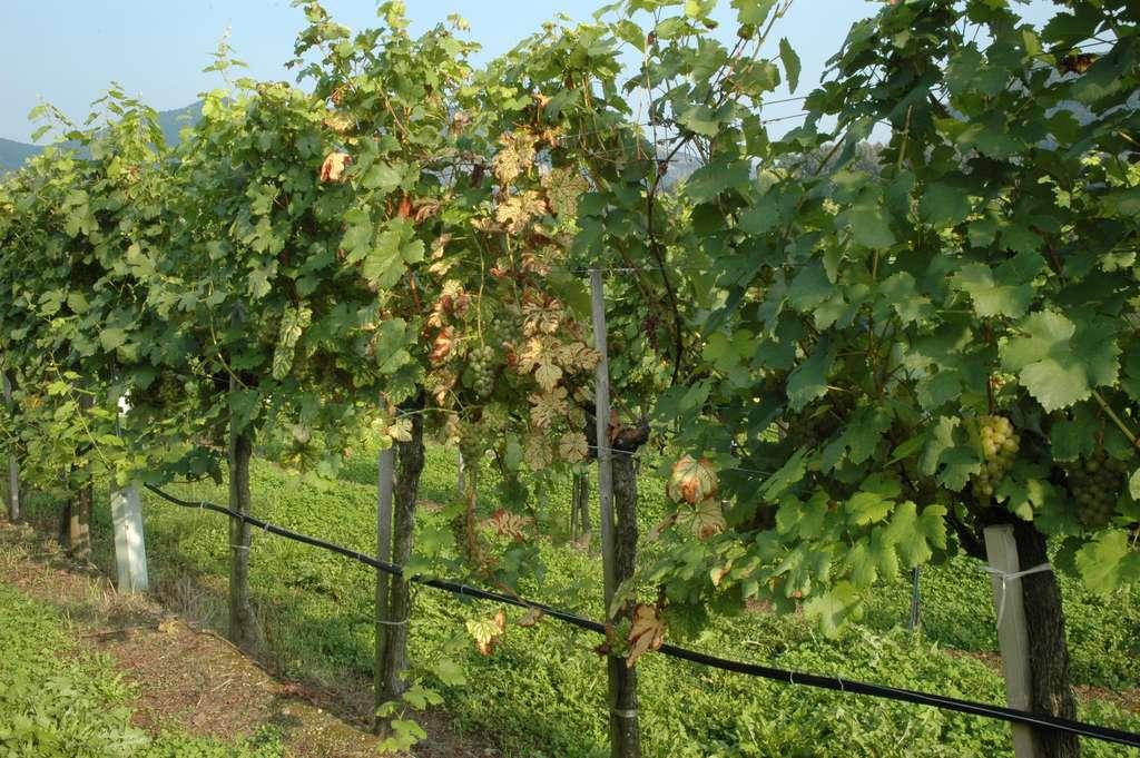 Mildiou de la vigne. © Bauer Karl, Wikimedia commons, CC 3.0 Autriche