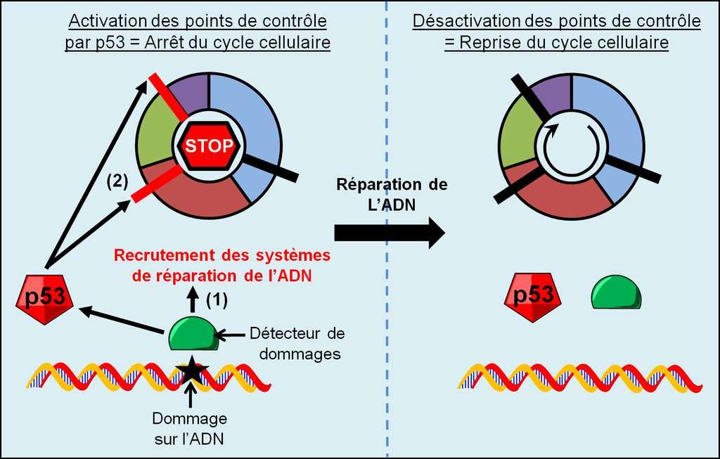 Figure 12. Signalisation et réparation des dommages de l'ADN. Lors de dommages sur l'ADN, les détecteurs de dommages de l'ADN activent les systèmes de réparation de l'ADN ainsi que p53 qui arrête le cycle cellulaire. Après la réparation de l'ADN, la signalisation des dommages de l'ADN n'est plus active et le cycle cellulaire reprend. © Grégory Ségala