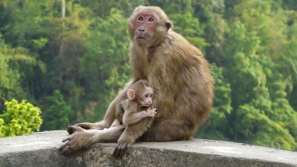 Le macaque d'Assam