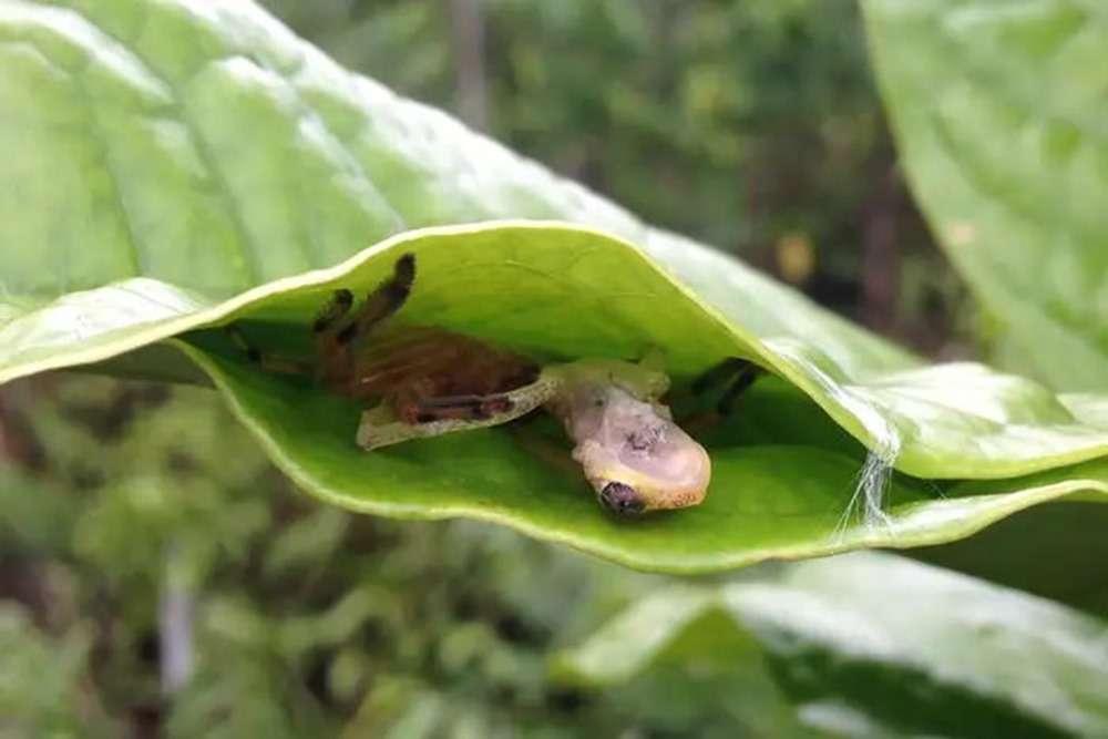 Une araignée a été observée en train de dévorer une grenouille dans ce qui semble être un piège de feuilles. © Dominic Andreas Martin, Université de Goettingen